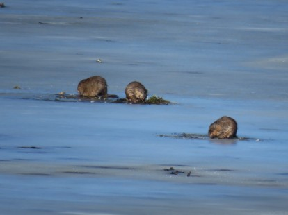 Three muskrats stand on an icy lake.
