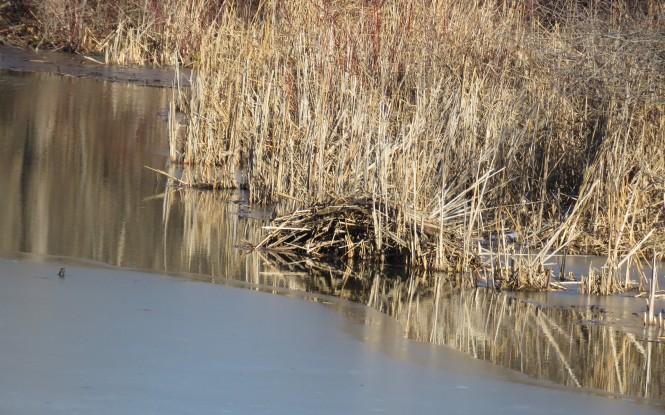 A muskrat push-up at the lakeshore of an icy lake.