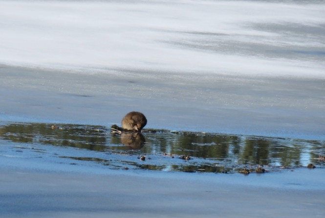 A muskrat stands on a watery spot in the middle of an iced over lake.
