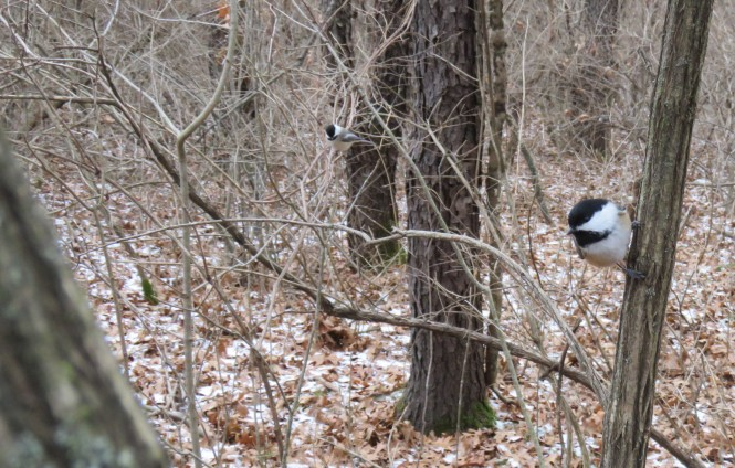 Two Black-capped Chickadees perch on low branches.