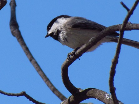 A Black-capped Chickadee sits on a branch looking down against a dark, but bright blue sky.