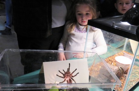 A young girl looks at a tarantula in an aquarium