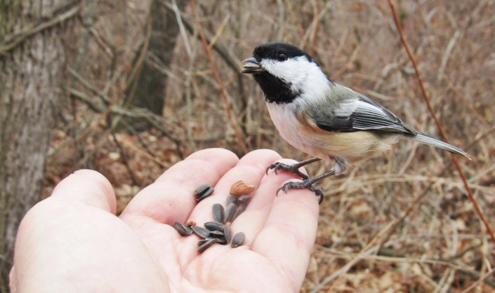 A Black-capped Chickadee perches on the author's hand.