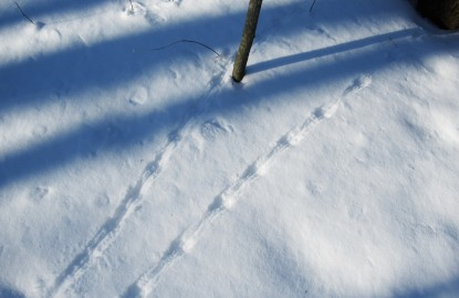 Mouse tracks in the snow