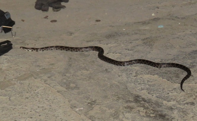 A long milk snake on a cement basement floor