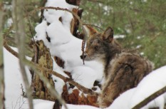 Eastern coyote standing in the snow