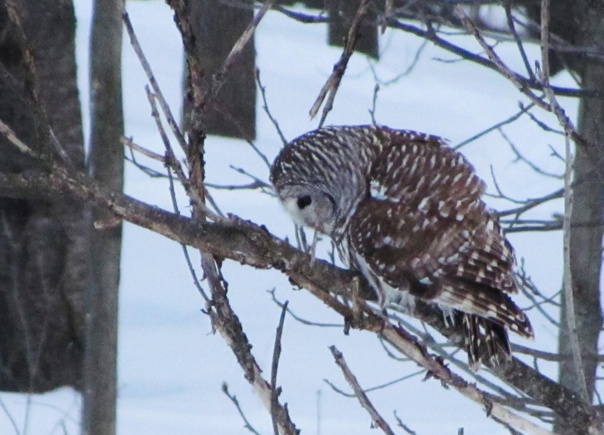 A barred owl looks down from a tree limb