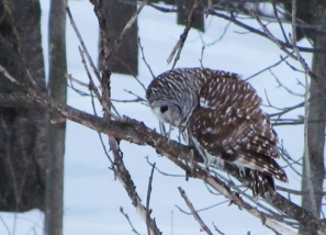 A barred owl looks down from a tree limb