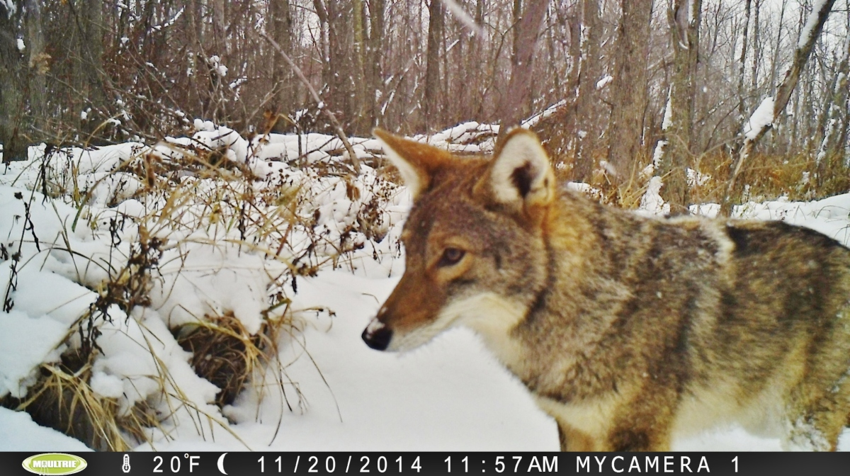 Coyote stands in the snow