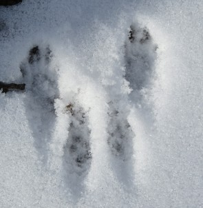 close up of squirrel tracks