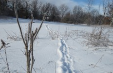 deer trail in deep snow