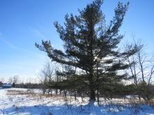 long-pine