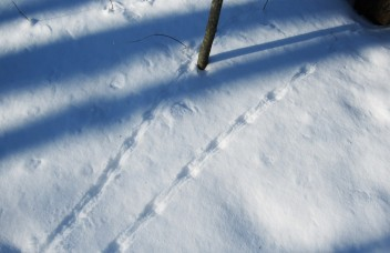 mouse tracks in snow with tail drag showing