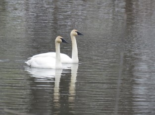 Trumpeter Swans pontiac
