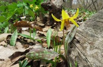 trout lilly and habitat