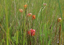 pitcher plant cluster