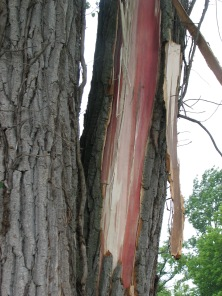 bark ripped from tree by lighting bolt caused expansion