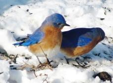 eastern bluebirds under feeder in winter