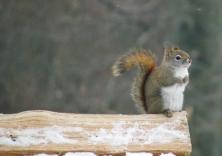 red squirrel on snowy log