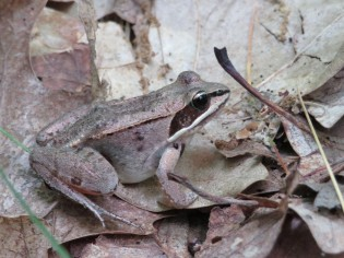 wood frog on forest floor