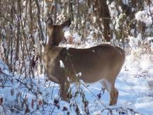 deer looking about