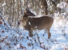 deer looking around