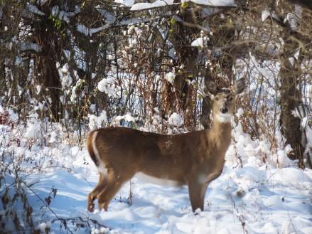 deer waching
