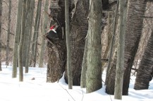 pileated in snowy woods on sunny day