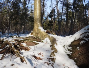 embracing roots of birch and cedar